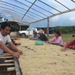 Bolaven Plateau Coffee Producers